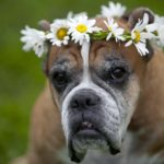 Holistic-Care-For-Senior-Dogs-In-Boulder