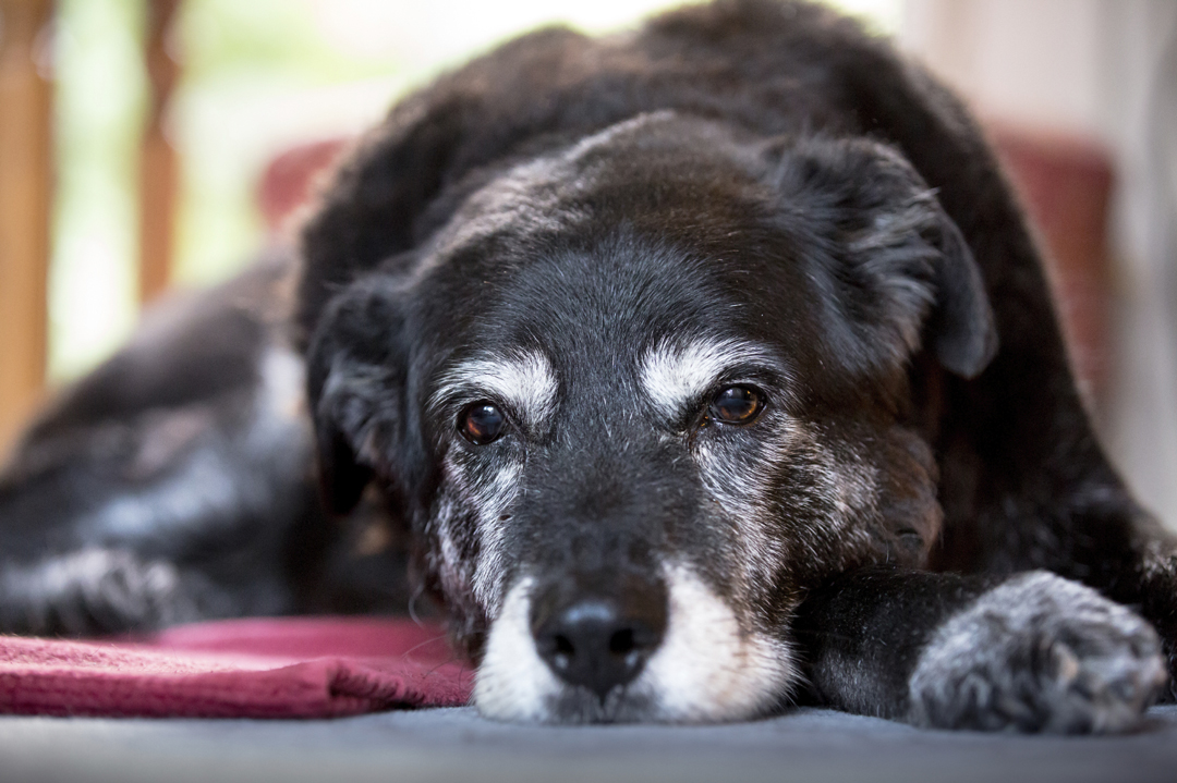 Massaging Your Senior Pet